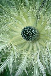Eryngium alpinum<br /> Sea holly