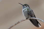 Photograph of a Blue-throated Mountain Gem from the Cave Creek Ranch, AZ