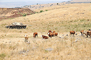 Israel, Golan Heights, Livestock grazing an old tank in the background