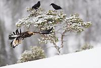 Golden eagle (Aquila chrysaëtos) and Raven (Corvus corax), Flatanger, Norway.