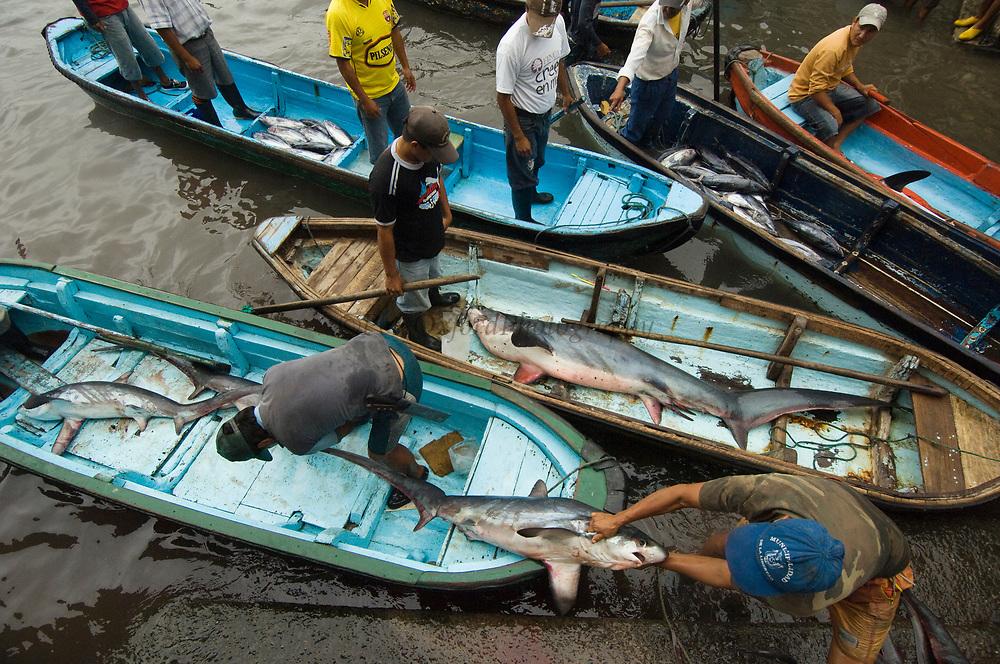 Bigeye Thresher Shark (Alopias superciliosus) probably caught in gill nets, offloaded from fishing boats, Santa Rosa Fishing Village, Santa Elena Peninsula, Ecuador