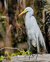 Great Egret (Ardea alba). Loop Road. Big Cypress National Monument. Image taken with a Fuji X-T2 camera and 100-400 mm OIS lens.