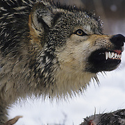 Gray Wolf (Canis lupus) portrait snarling over a deer carcass. Captive Animal