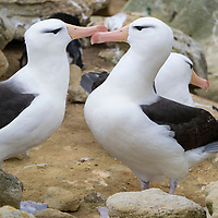 A pair of black-browed albatross engage in courtship behavior on New Island, Falkland Islands.