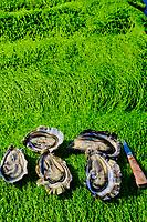France, Manche (50), Cotentin, Saint-Vaast-la-Hougue, parcs à huitres de Xavier Hélie // France, Normandy, Manche department, Cotentin, Saint-Vaast-la-Hougue, Oyster park by Xavier Hélie