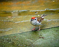 Chipping Sparrow.  Image taken with a Fuji X-T3 camera and 200 mm f/2 telephoto lens + 1.4x Teleconverter