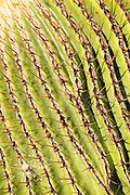 Cactus plant close up Jardin de Cactus designed by César Manrique, Guatiza, Lanzarote, Canary Islands, Spain. Cactaceae, Echinocactus Platyacanthus, from Puebla, Mexico