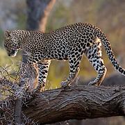 Leopard (Panthera pardus) Walking down tree large tree branch. Samburu Game Reserve. Kenya. Africa. February.
