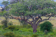 Lions sleeping in a sausage tree