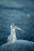 Striated Heron, Fernandina Island, Galapagos, South America