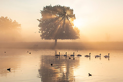 © Licensed to London News Pictures. 10/10/2018. London, UK. A bevy of swans on a lake at sunrise in Bushy Park, south London. Forecasters are expecting unusually warm temperatures for October. Photo credit: Rob Pinney/LNP