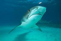 Tiger Shark and Sardine