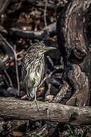 Juvenile Striated Heron sitting on a tree  in the Chobe River, Botswana.