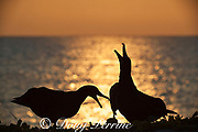 Black-footed albatross, Phoebastria nigripes, sky calling during courtship dance at sunset, Sand Island, Midway Atoll, Midway National Wildlife Refuge, Papahanaumokuakea Marine National Monument, Northwest Hawaiian Islands, USA ( North Pacific Ocean )