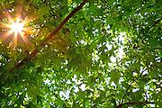Sunburst Through The Trees