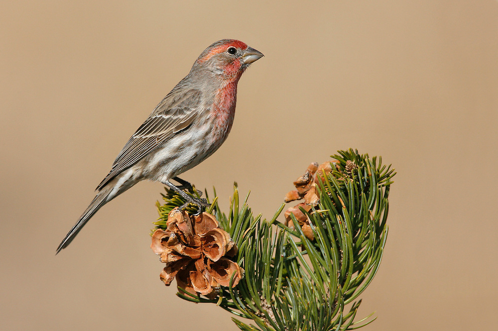 House Finch - Carpodacus mexicanus - male