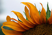 close up details of a sunflower