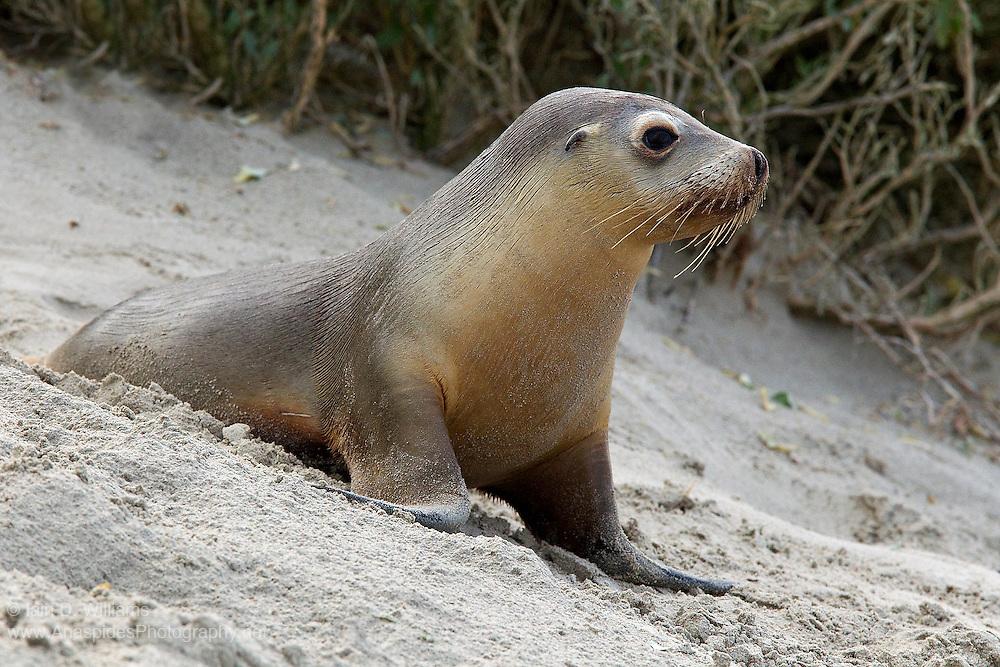 Australian Sea Lion (Neophoca cinerea) - Kangaroo Island