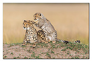 Mother cheetah and her cub.  Maasai Mara, Kenya. Nikon D5, 600mm, f4, 1/2000sec, ISO250, Aperture priority