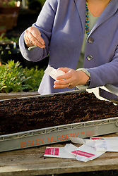 Autumn sowing of hardy annuals into trays - 'Euphorbia oblongata'