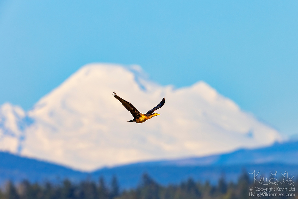 A double-crested cormorant (Phalacrocorax auritus) flies over a river in Stanwood, Washington with Mount Baker as a backdrop. Mount Baker, at 10,781 feet (3,286 meters), is the third largest volcano in Washington state. It last erupted in 1880.