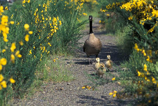 Canada Goose, (Branta candensis) Adult and chicks.