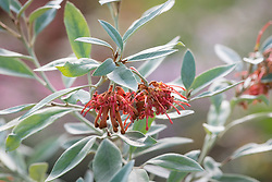 Grevillea victoriae 'Murray Valley Queen'