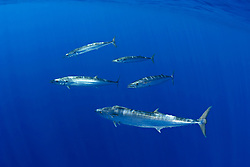 wahoo, Pacific kingfish, or O-no in Hawaiian, Acanthocybium solandri, free-swimming, Kona, Big Island, Hawaii, Pacific Ocean