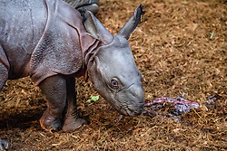 Mother Indian rhino Namaste and her new born baby rhino at Rotterdam zoo in Rotterdam, Netherlands, on February 15, 2017. Namaste is an experienced mother and has raised six young. Her last baby was born a good four years ago. Photo by Robin Utrecht/ABACAPRESS.COM