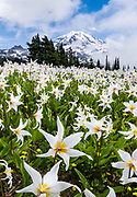 Fields of White Avalanche Lilies bloom in late July along the trail in Spray Park, in Mount Rainier National Park, Washington, USA. Erythronium montanum (in the Liliaceae family) is native to the alpine and subalpine Olympic and Cascade Ranges of the Pacific Northwest and coastal British Columbia, in North America. Avalanche Lilies bloom as snow melts in late spring and early summer in damp subalpine woodlands and alpine meadows. This panorama was stitched from 4 overlapping photos.
