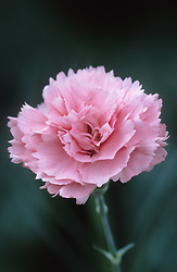 Dianthus 'Letitia Wyatt'- Carnation, Pink
