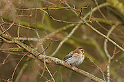 Reed bunting (Emberiza schoeniclus) on a tree at Shapwick Heath. The reed bunting is on the British BIodiversity Action plan, due to rapidly declining numbers.