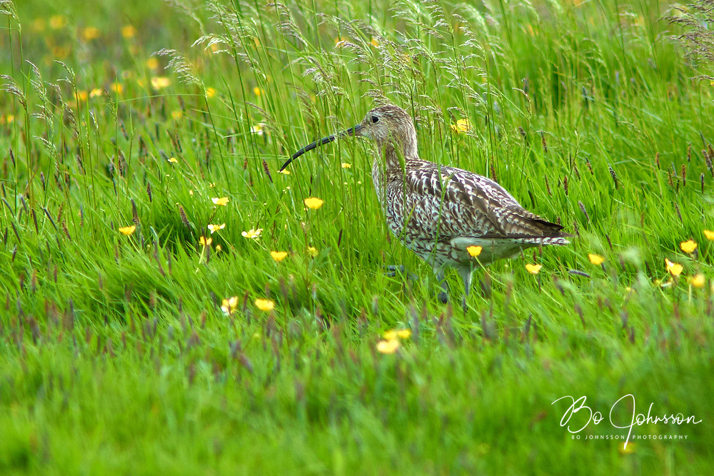 A eurasian curlew (storspov, Numenius arquata) in the wet green meadows of Vombs angar.<br /> Vomb, southern Sweden.<br /> June 2005.