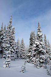 North America, United States, Washington, snow covered trees on Crystal Mountain