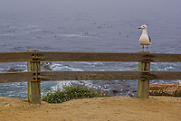 Monterey Seagull, Pacific Coast, California