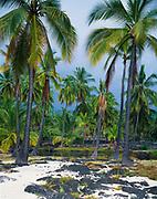 Coconut Palms on the Palace Grounds at Pu'uhonua o Honaunau, a place of refuge of Honaunau, Pu'uhonua o Honaunau National Historical Park, Big Island of Hawaii, Hawaii