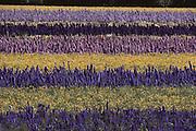 Delphinium Flowers: Lompoc, California.