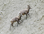 Feisty young Rocky Mountain Bighorn Sheep (Ovis canadensis canadensis) climb a road cut along Bow Valley Parkway, Banff National Park, Alberta, Canada. Wild sheep crossed the Bering land bridge from Siberia during the Pleistocene (about 750,000 years ago) and spread across western North America as far south as Baja California and northwestern Mexico. Genetic divergence from their closest Asian ancestor (snow sheep) occurred about 600,000 years ago. The Canadian Rocky Mountain Parks World Heritage Site was declared by UNESCO in 1984.