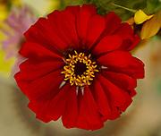 Fire wheel, close-up flower, Berks Co., Reading, PA