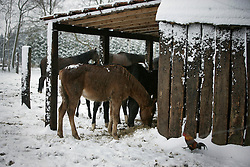Horses in snow<br /> Zandhoven 2007<br /> © Dirk Caremans