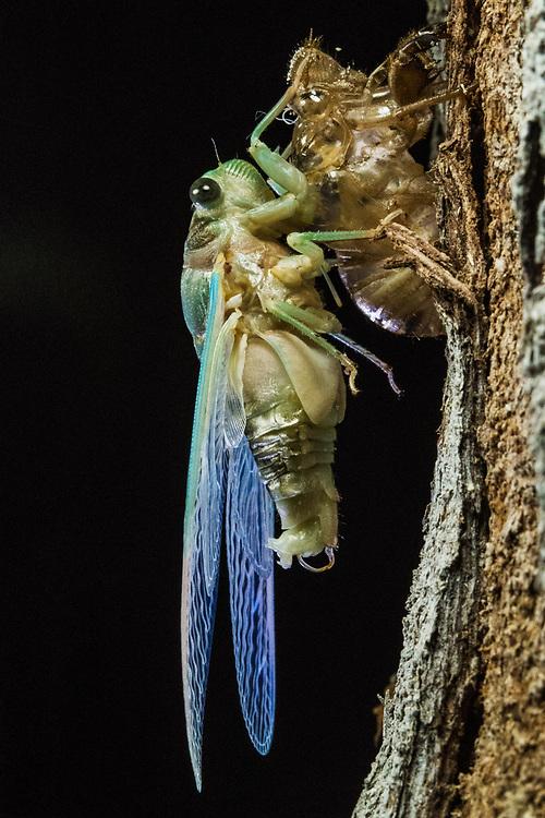 Superb Green Cicada (Tibicen superba) adult emerging from nymph skin, Harbour Island, Bahamas