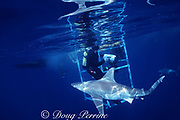sandbar sharks, Carcharhinus plumbeus, swim past viewing cage, North Shore, Oahu, Hawaii ( Central Pacific Ocean ) MR 296
