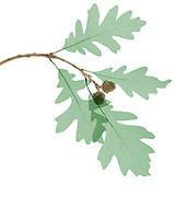 X-ray of oak leaves and acorns from a Pyrenean Oak (Quercus pyrenaica)