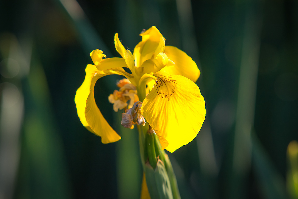 An invasive, yet beautiful non-native yellow flag iris catches the first rays of sunlight over the basalt walls of Yakima Canyon on the Yakima River at dawn.