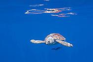Loggerhead turtle, Caretta caretta, with pilot fishes, Naucrates ductor<br /> Pico, Azores, Portugal