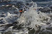 Gentoo Penguin (Pygoscelis papua) splashing on the shores of Cuerville Island.