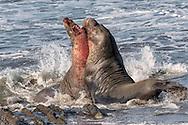 Northern Elephant Seal - Mirounga angustirostris - males fighting