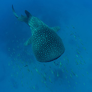 Whale shark (Rhincodon typus), swimming near the sea bed with a shoal of small fish, Honda Bay, Palawan, the Philippines, Sulu Sea