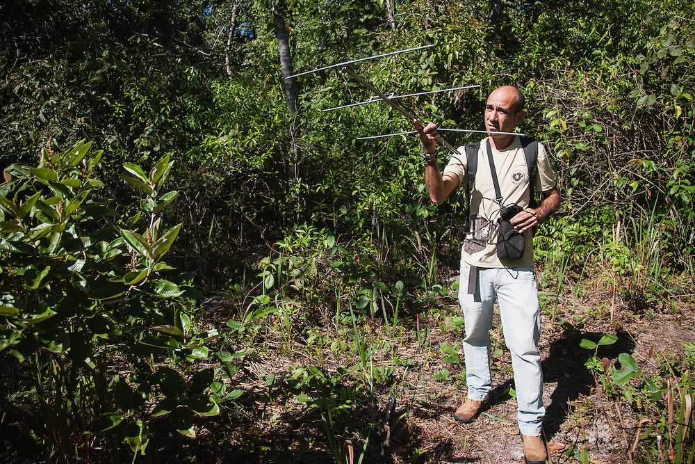 A researcher uses radio equipment to track collared golden lion tamarins (Leontopithecus rosalia) ,Brasil, South America
