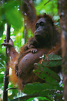 A female three-week-old orangutan and its mother.